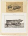 Chlamydophorus truncatus - 1700-1880 - Print - Iconographia Zoologica - Special Collections University of Amsterdam - UBA01 IZ21000027.tif