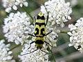 Chlorophorus varius 13.02.53.jpg