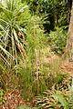 Christchurch Botanic Gardens, New Zealand section, rimu tree, juvenile, 2016-02-04.jpg