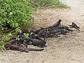 Christmas Iguanas - Marine Iguanas - Espanola - Hood - Galapagos Islands - Ecuador (4870792865).jpg