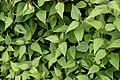 Chromolaena odorata 8581.jpg