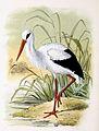 Ciconia ciconia 1869.jpg