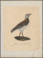 Cinclus interpres - 1825-1834 - Print - Iconographia Zoologica - Special Collections University of Amsterdam - UBA01 IZ17300029.tif