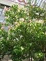 Cinnamomum zeylanicum 1c.JPG