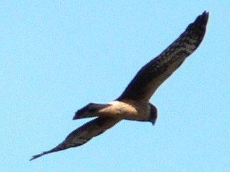 Harrier (bird) - Northern harrier, 1st year juvenile