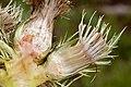 Cirsium drummondii - Flickr - aspidoscelis (2).jpg