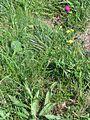 Cirsium pannonicum PID1944-1.jpg