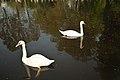 Cisnes en un lago en Wassenaar - la Haya - Creative Commons by gnuckx - panoramio.jpg