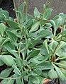 Cistanthe grandiflora IMG 2680.jpg