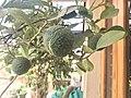 Citrus limetta At home garden.jpg