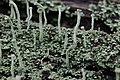 Cladonia fimbriata (25790155480).jpg