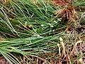 Clavariadelphus pistillaris 87803755.jpg