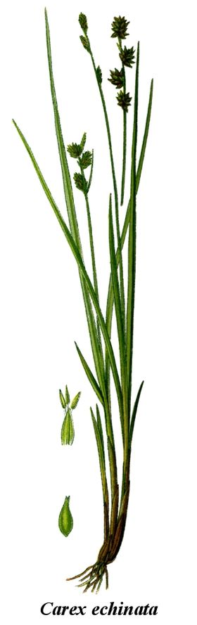 Cleaned-Illustration Carex echinata.jpg