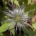 Clematis seed head (3532723089).jpg