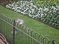 Climbing squirrel London fence.JPG