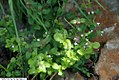 Clinopodium vulgare 3zz.jpg