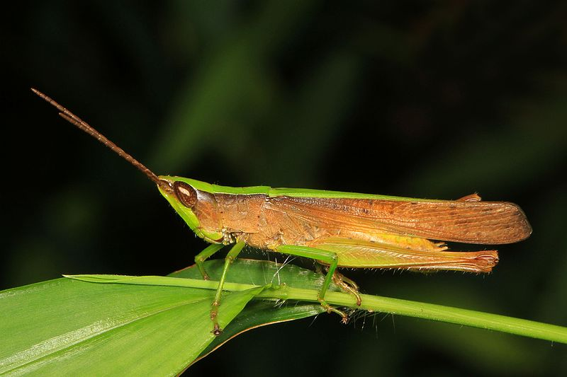 Clipped-Wing Grasshopper (Metaleptea brevicornis)