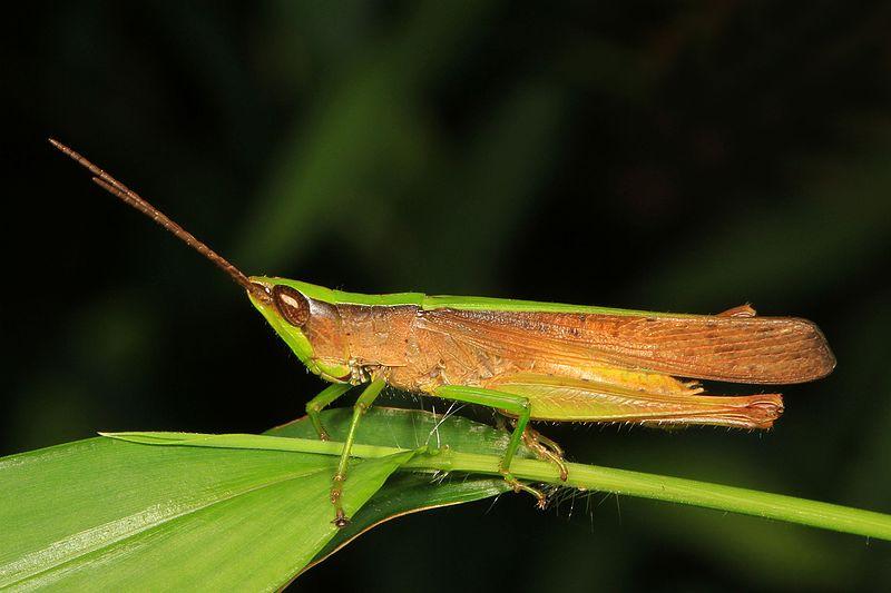 Clipped-Wing Grasshopper (Metaleptea brevicornis)