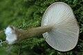 Clitocybe.squamulosa4.-.lindsey.jpg