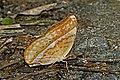 Close wing mud-puddle activity of Cirrochroa aoris Doubleday, 1847 – Large Yeoman (Male) WLB DSC 0881.jpg