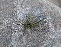 Closterotomus trivialis (32059294796).jpg