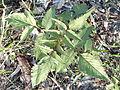 Cobblers pegs leaves (3371959885).jpg