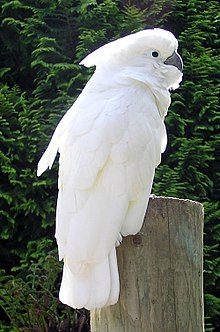 Cockatoo perching on a branch. Its plumage on the top of its head above its eyes is white and it has a horn-coloured beak. The rest of its head, its neck, and most of its front are pink. Its wings and tail are grey and blue.