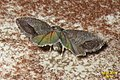 Codling moth (NH266) (14582145661).jpg