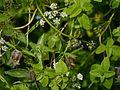 Codonopsis rotundifolia (7821749092).jpg