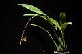 Coelogyne candoonensis Ames, Schedul. Orchid. 6 18 (1923) (40719151080).jpg