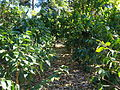 Coffee Plants Cafe Britt Costa Rica.JPG