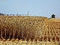 Colheita Trigo - panoramio.jpg