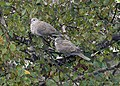 Collared Doves - geograph.org.uk - 918076.jpg