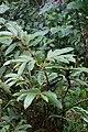 Columnea capillosa (Gesneriaceae) (30110650752).jpg