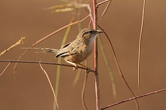 Common babbler -  From India