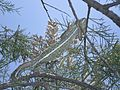 Common Chameleon (Chamaeleo chamaeleon) (6161793778).jpg