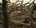 Common Coot (Fulica atra) nest in Hyderabad W2 IMG 8508.jpg