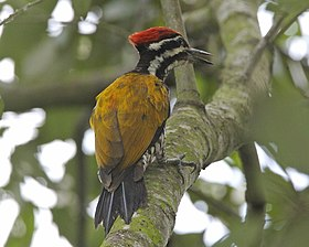 Common Flameback (Dinopium javanense javanense) - Flickr - Lip Kee (1).jpg