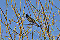 Common Grackle (Quiscalus quiscula) - London, Ontario 01.jpg