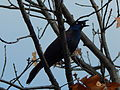Common Grackle in Washington DC.JPG
