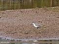 Common Greenshank (Tringa nebularia) (25260401173).jpg