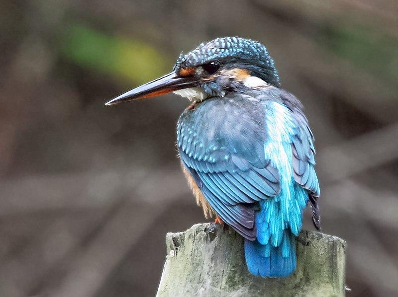 Common Kingfisher I IMG 8014