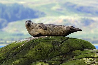 Harbor seal - in Argyll, Scotland