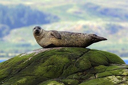 Common seal (Phoca vitulina), Argyll, Scotland
