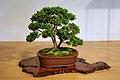 "Compact Littleleaf Boxwood (Buxus microphylla) ""Compacta"" (3501619643).jpg"