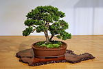 "Compact Littleleaf Boxwood (Buxus microphylla) ""Compacta"" (3501619643).jpg"
