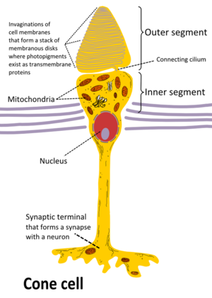 Cone cell - Cone cell structure