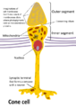 Cone cell eng.png