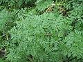 Conium maculatum leaf2 (14495221529).jpg