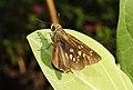 Conjoined Swift Pelopidas conjuncta UP by Dr. Raju Kasambe DSCN4060 (4).jpg